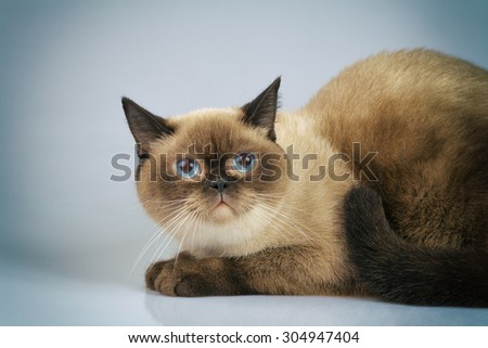 Cute dreaming siamese cat - stock photo