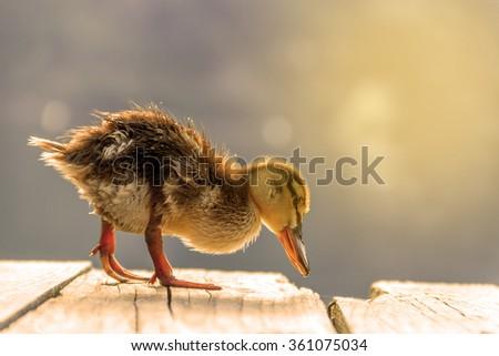 cute duckling in lake in beautiful sunrise  - stock photo