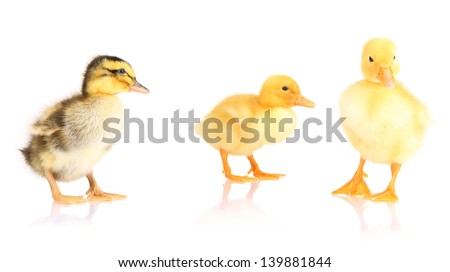Cute ducklings isolated on white