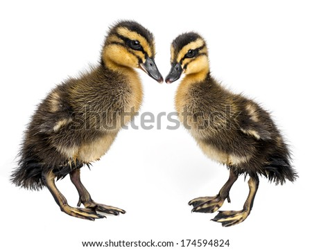 cute ducklings - love - stock photo