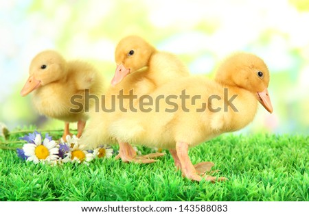 Cute ducklings on green grass, on bright background