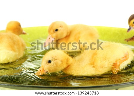 Cute ducklings swimming, isolated on white