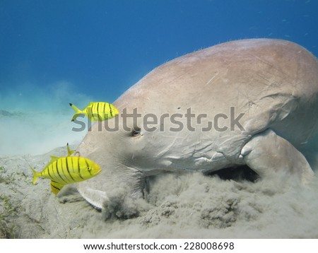 Cute dugong (Sirenian, mammal) and pilot jacks feeding on seagrass - stock photo