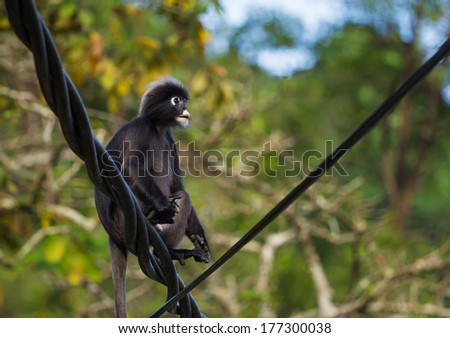 Cute Dusky Langur sitting on the wires  - stock photo