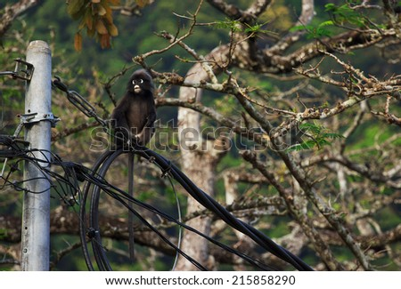 Cute Dusky Langur sitting on the wires, Malaysia  - stock photo