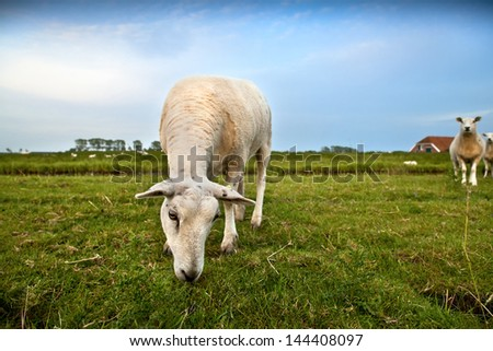 cute Dutch sheep grazing on green pasture