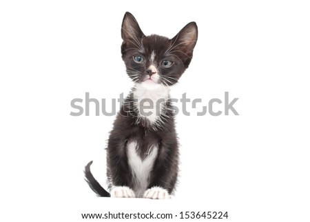 Cute eight week old Tuxedo Kitten on a white background. - stock photo