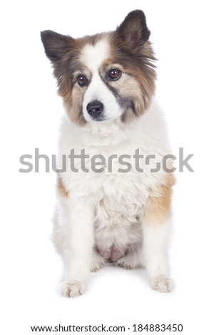 Cute elo mixed dog isolated on white