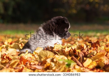 cute Elo puppy in colorful autumn leaves