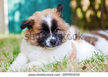 cute Elo puppy lying in the garden - stock photo