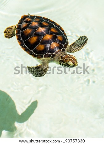 Cute endangered baby turtle swimming in crystal clear water - stock photo