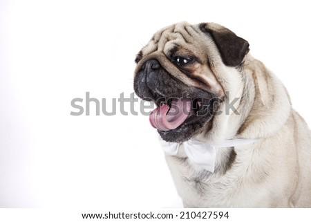 cute english bulldog isolated on white background
