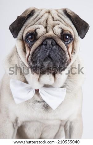 cute english bulldog isolated on white background - stock photo