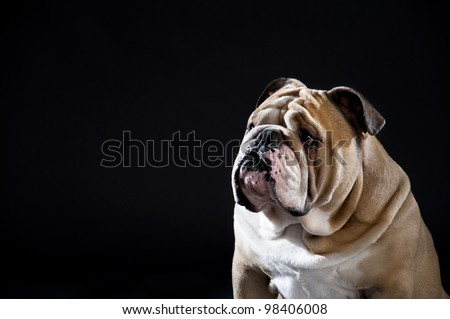 Cute english bulldog portrait isolated on black - stock photo