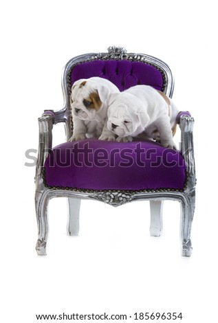 Cute English bulldog puppies in a luxury posh chair - stock photo