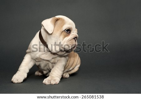 Cute English  bulldog puppy on gray background.