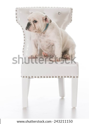 cute english bulldog puppy sitting on a white chair on white background - stock photo