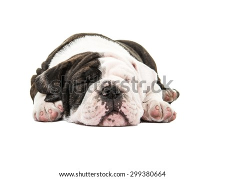 Cute english bulldog puppy sound a sleep eyes closed isolated on a white background - stock photo