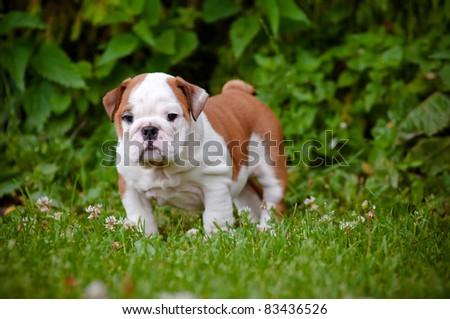 cute english bulldog puppy standing outside - stock photo