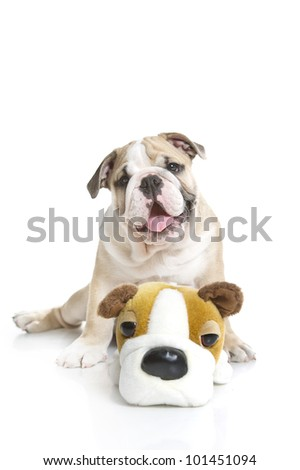 Cute English bulldog puppy with a toy bulldog isolated