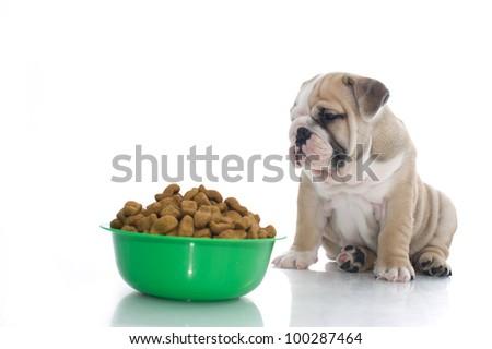 Cute english bulldog pupy with dry food - stock photo