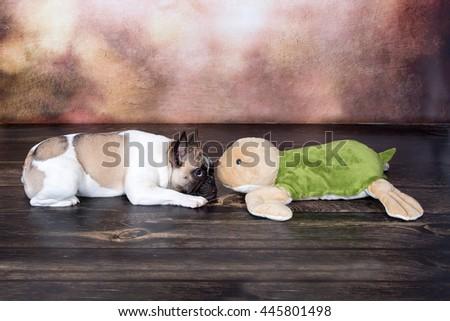 Cute English Bulldog with plush turtle - stock photo