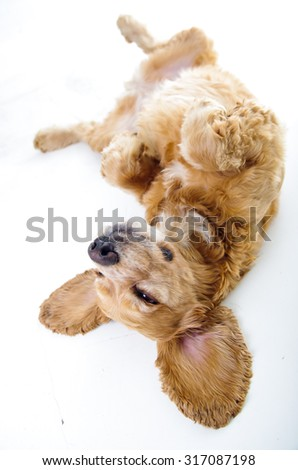 Cute English Cocker Spaniel puppy in front of a white background. - stock photo