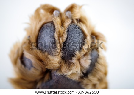 Cute English Cocker Spaniel puppy in front of a white background paw closeup. - stock photo