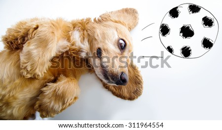 Cute English Cocker Spaniel puppy in front of a white background playing with football sketch. - stock photo
