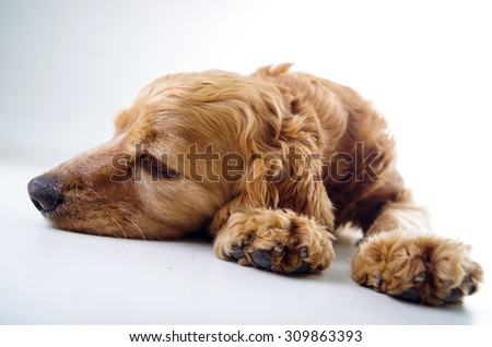 Cute English Cocker Spaniel puppy lying and relaxing in front of a white background.