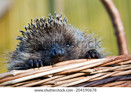 cute European hedgehog closeup snout in the basket - stock photo
