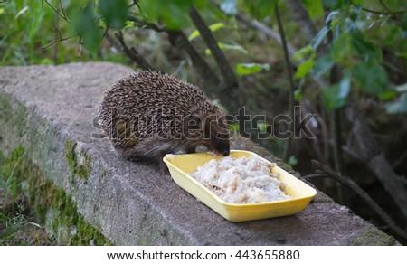 Cute European Hedgehog eating rice porridge with meat - stock photo