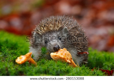 Cute European Hedgehog, Erinaceus europaeus, eating orange mushroom in the green moss - stock photo