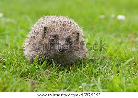 Cute European hedgehog in the garden