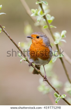 cute European robin on a willow branch with a natural background taking in vertical