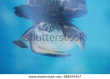 Cute face of a baby sea turtle swimming slowly underwater.
