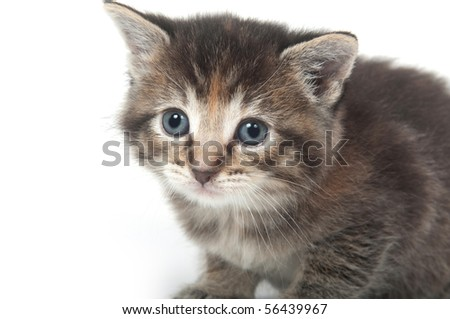 Cute face of a tabby kitten on white