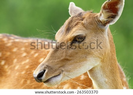 cute fallow deer doe portrait over green out of focus background ( Dama )