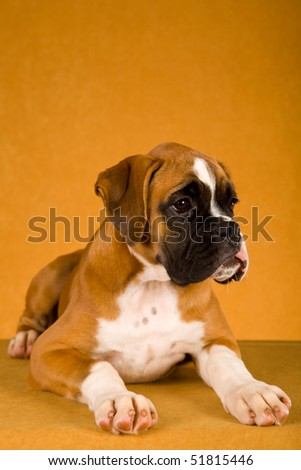 Cute Fawn Boxer puppy on gold bronze background fabric