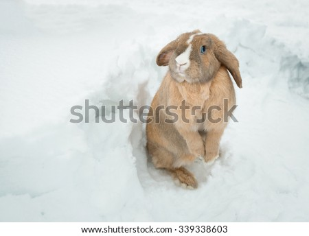 Cute fawn fluffy rabbit with friendly blue eyes standing in snow in winter and looking into camera. Rabbit ears hang down. White stripe on head.