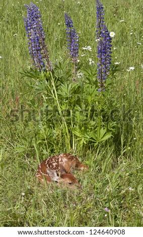 Cute Fawn in Purple Wildflowers - stock photo