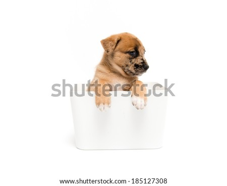 Cute Fawn Puppy with Black Spots in Container on White Background - stock photo