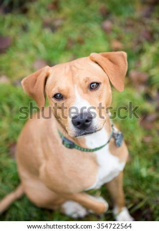 Cute Fawn Terrier Mix Dog Outside in Backyard - stock photo