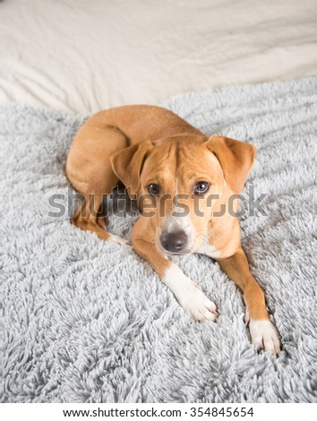 Cute Fawn Terrier Mix Dog Playing on Human Bed