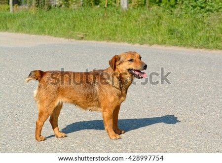 Cute female stray dog standing on the road. - stock photo
