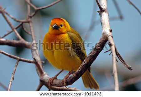 Cute finch perched in a tree. - stock photo
