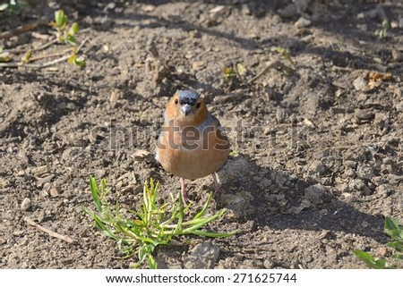 Cute finch standing on ground - stock photo