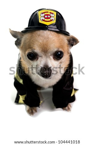 Cute Firefighter Chihuahau on white background - stock photo