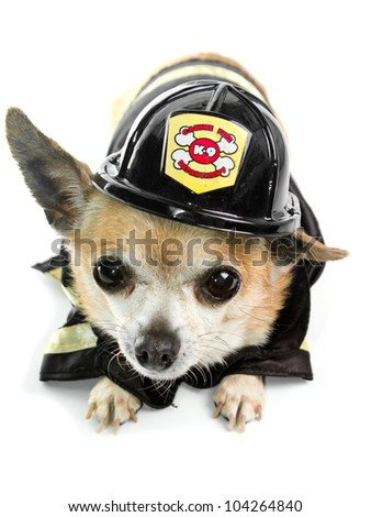 Cute Firefirghter Chihuahau on white background - stock photo