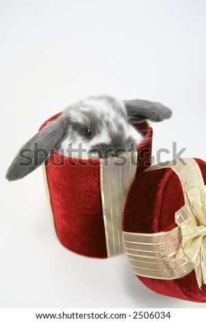 Cute floppy earred bunny in red gift box - stock photo
